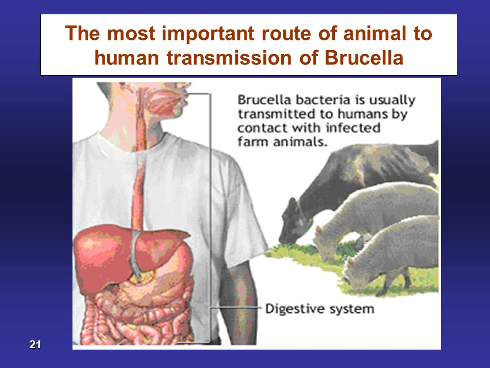The most important route of animal to human transmission of Brucella
