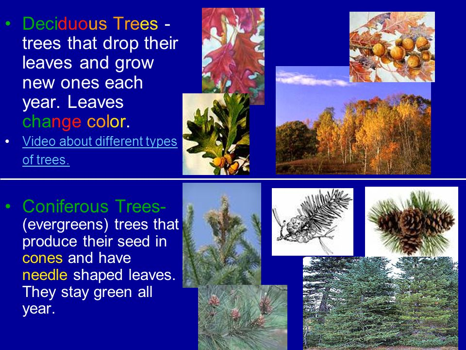 Deciduous Trees -trees that drop their leaves and grow new ones each year. Leaves change color.