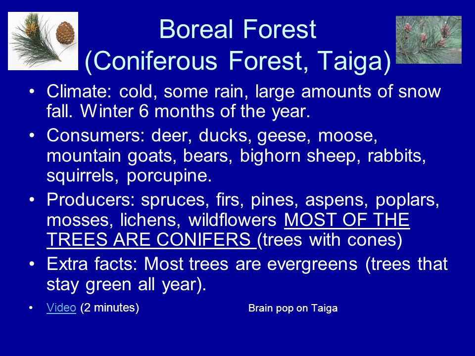 Boreal Forest (Coniferous Forest, Taiga)