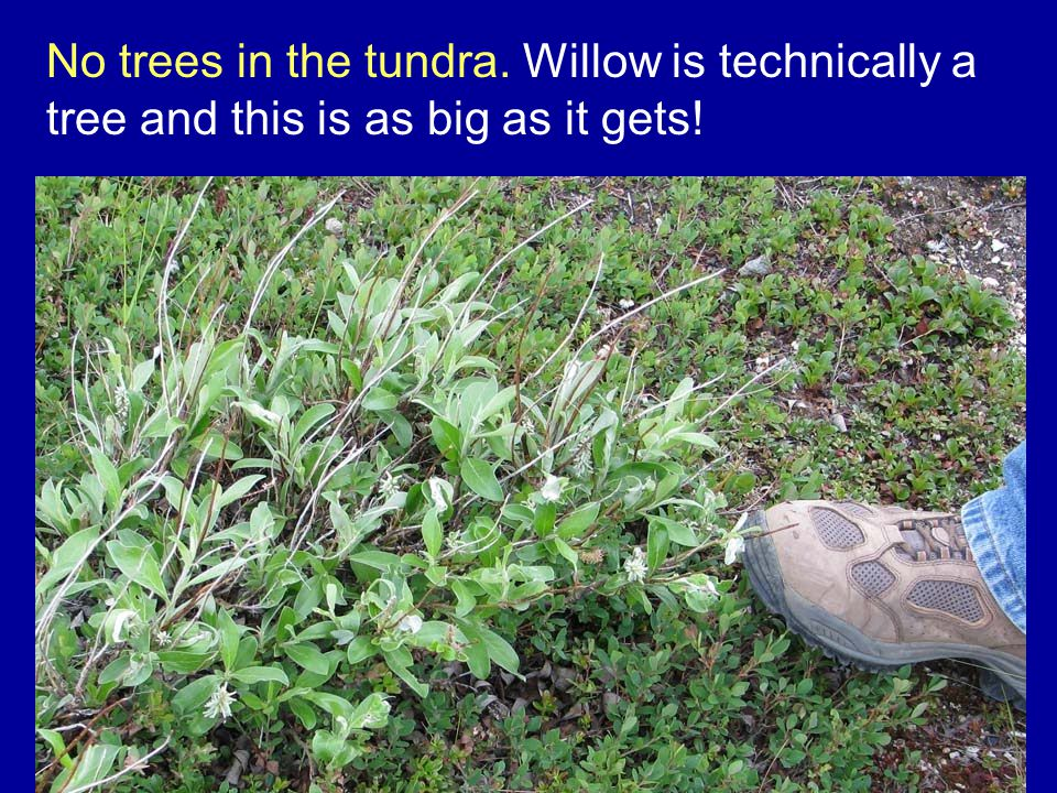 No trees in the tundra. Willow is technically a tree and this is as big as it gets!