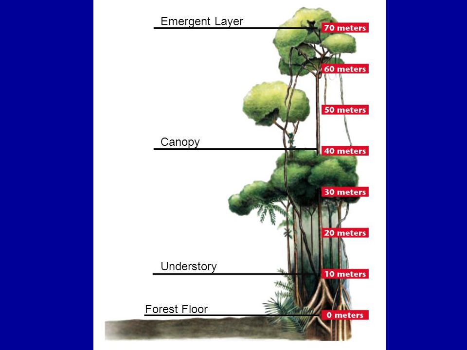 Emergent Layer Canopy Understory Forest Floor