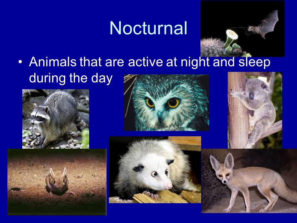 Nocturnal Animals that are active at night and sleep during the day