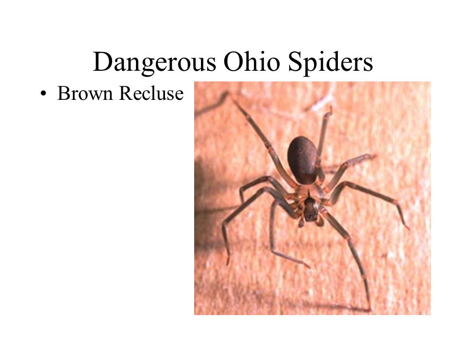 Dangerous Ohio Spiders