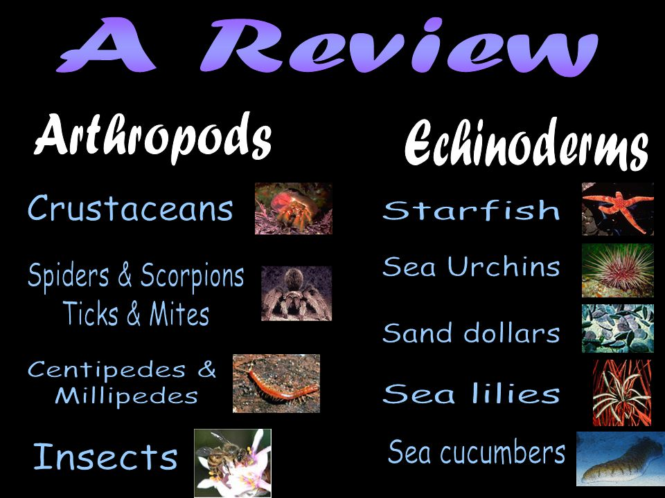 A Review Arthropods. Echinoderms. Crustaceans. Starfish. Sea Urchins. Spiders & Scorpions. Ticks & Mites.