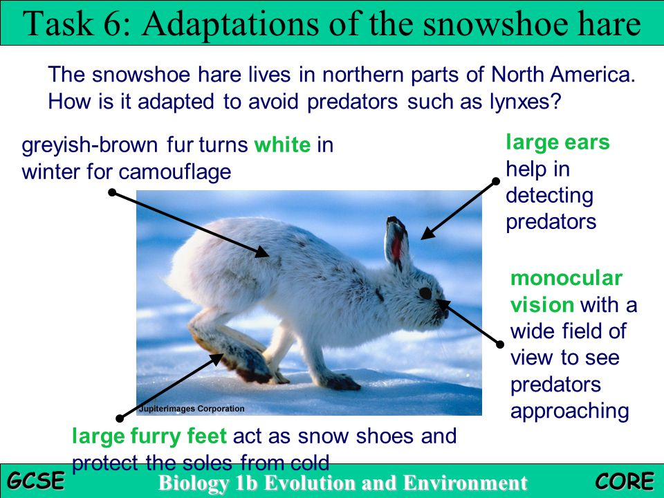 Task 6: Adaptations of the snowshoe hare