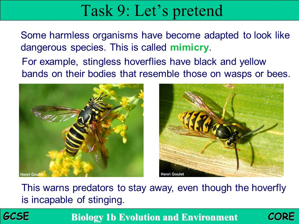 Task 9: Let's pretend Some harmless organisms have become adapted to look like dangerous species. This is called mimicry.