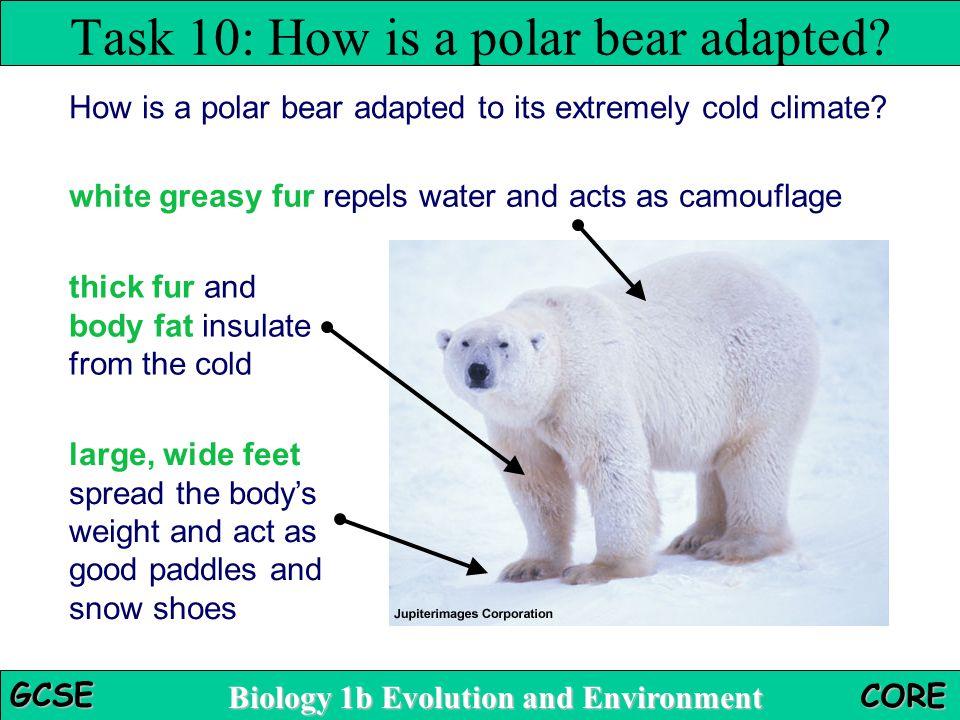 Task 10: How is a polar bear adapted