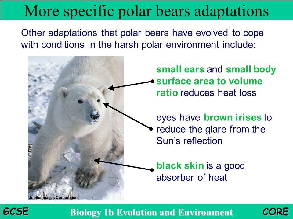 More specific polar bears adaptations