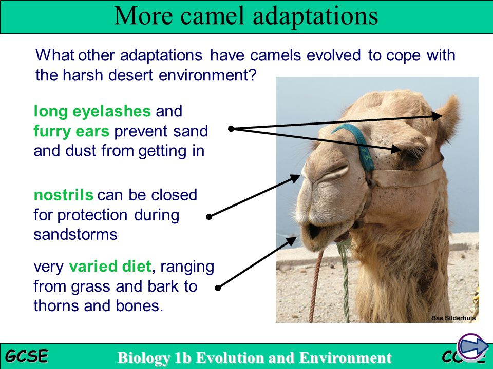 More camel adaptations