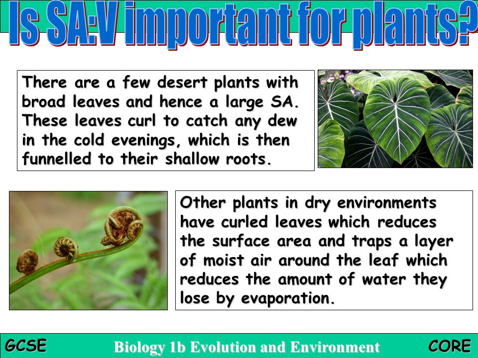Is SA:V important for plants