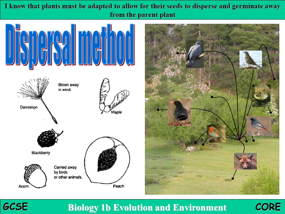 I know that plants must be adapted to allow for their seeds to disperse and germinate away from the parent plant