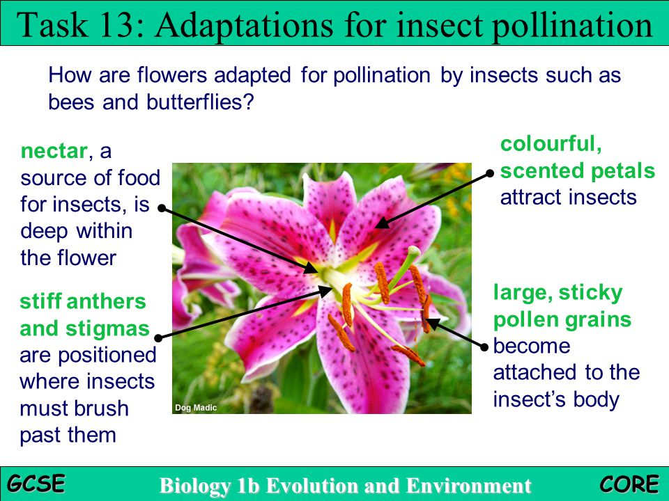 Task 13: Adaptations for insect pollination