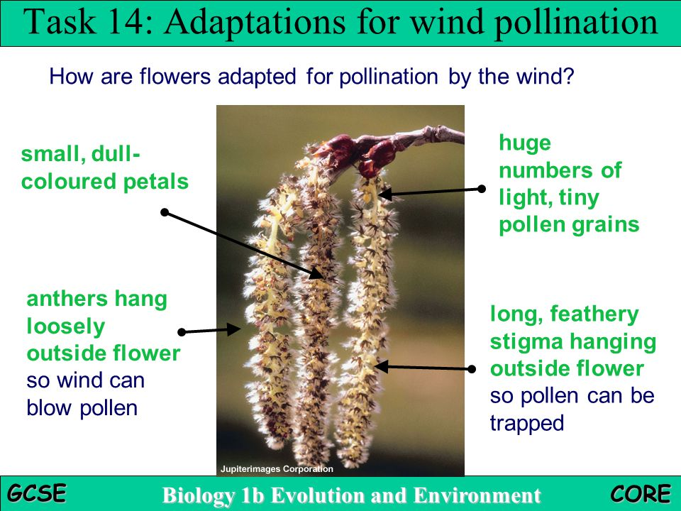Task 14: Adaptations for wind pollination
