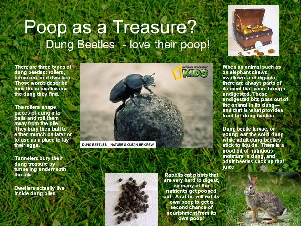 Dung Beetles - love their poop!