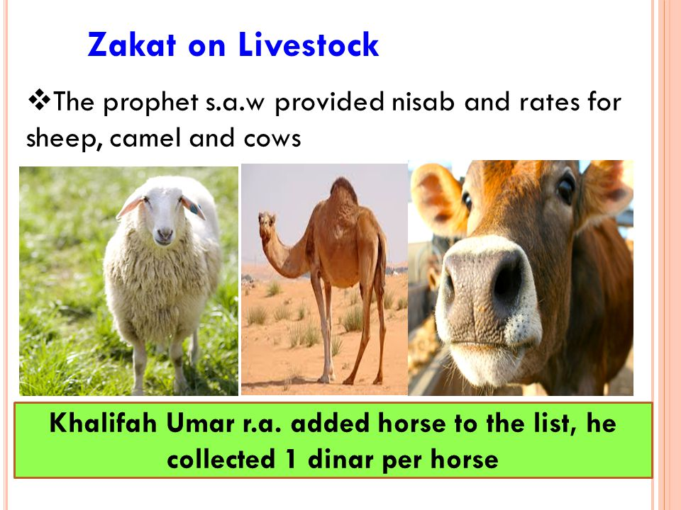 Zakat on Livestock The prophet s.a.w provided nisab and rates for sheep, camel and cows.