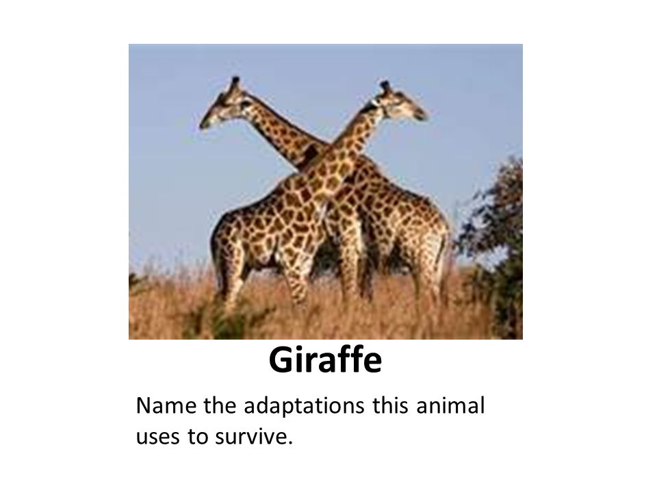 Giraffe Name the adaptations this animal uses to survive.