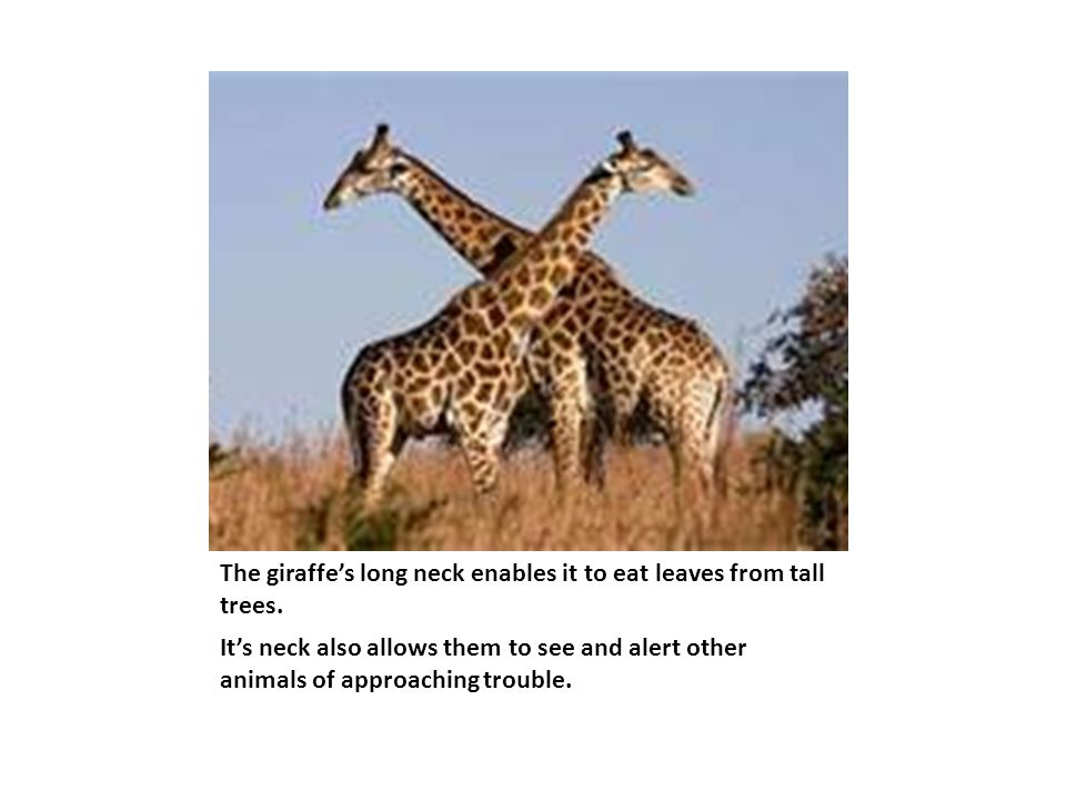 The giraffe's long neck enables it to eat leaves from tall trees.