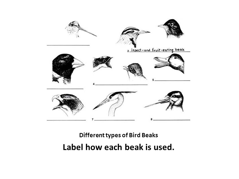 Different types of Bird Beaks