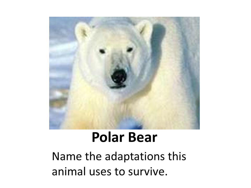 Polar Bear Name the adaptations this animal uses to survive.