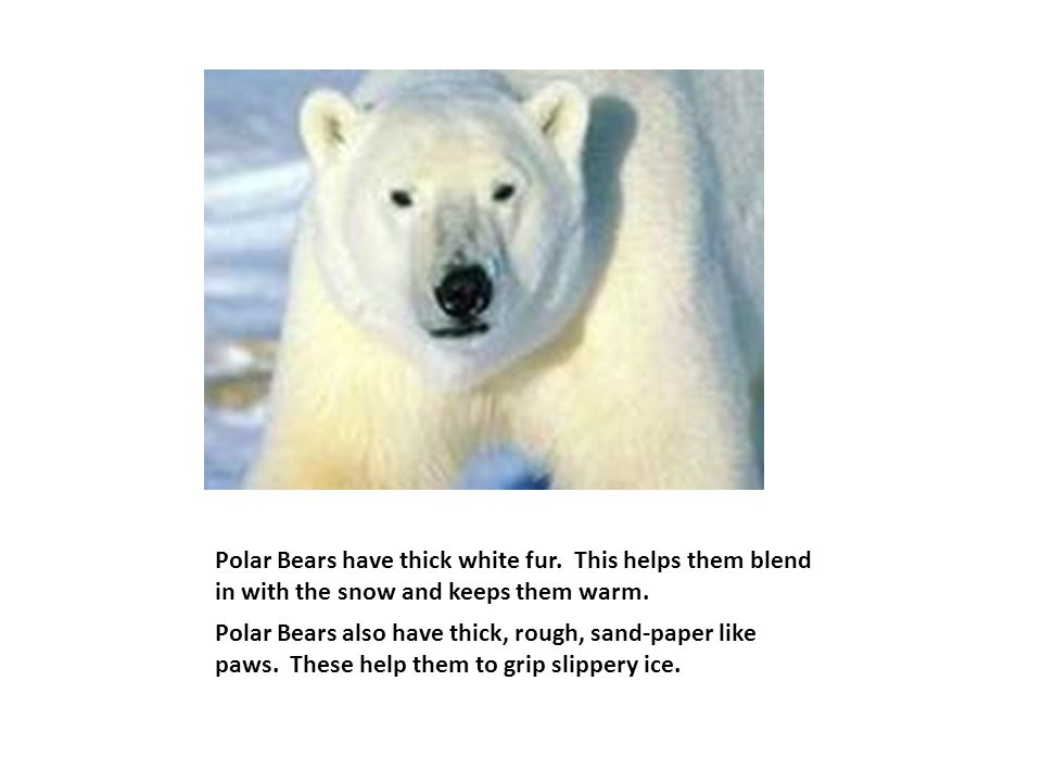 Polar Bears have thick white fur