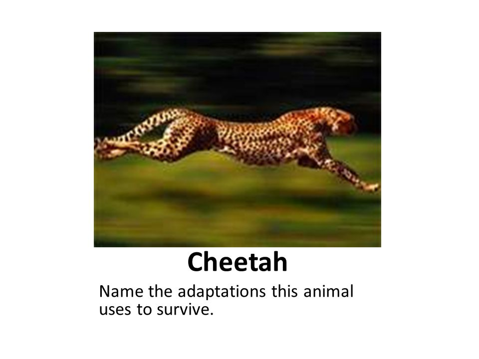 Cheetah Name the adaptations this animal uses to survive.