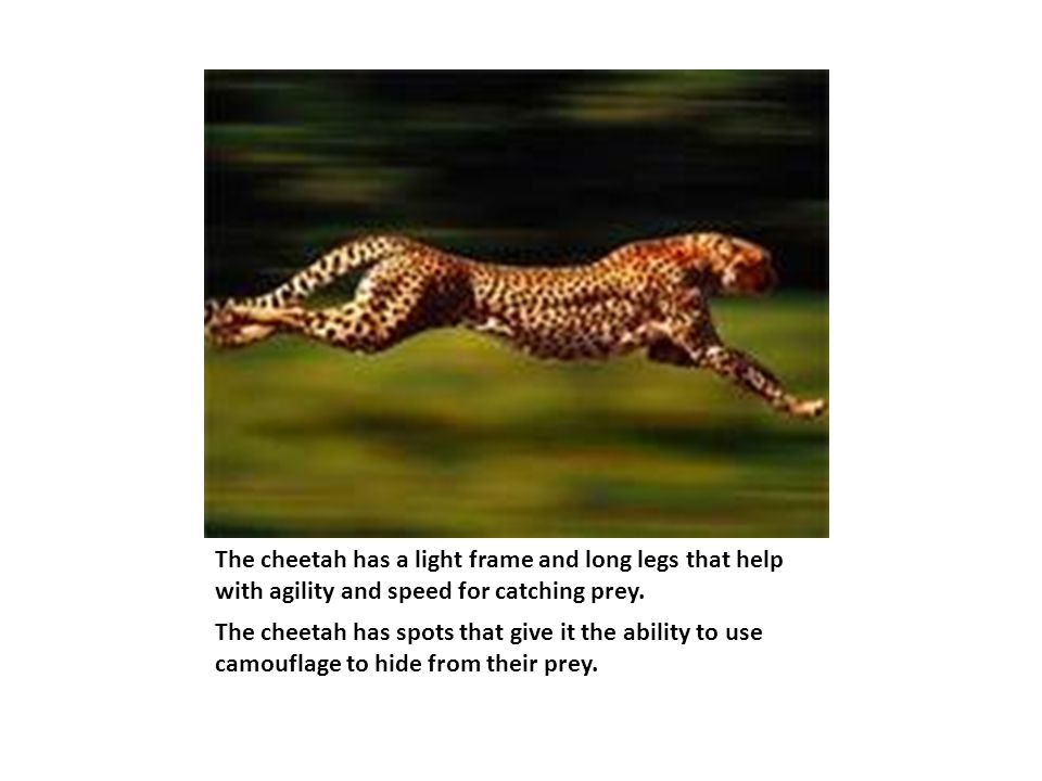 The cheetah has a light frame and long legs that help with agility and speed for catching prey.