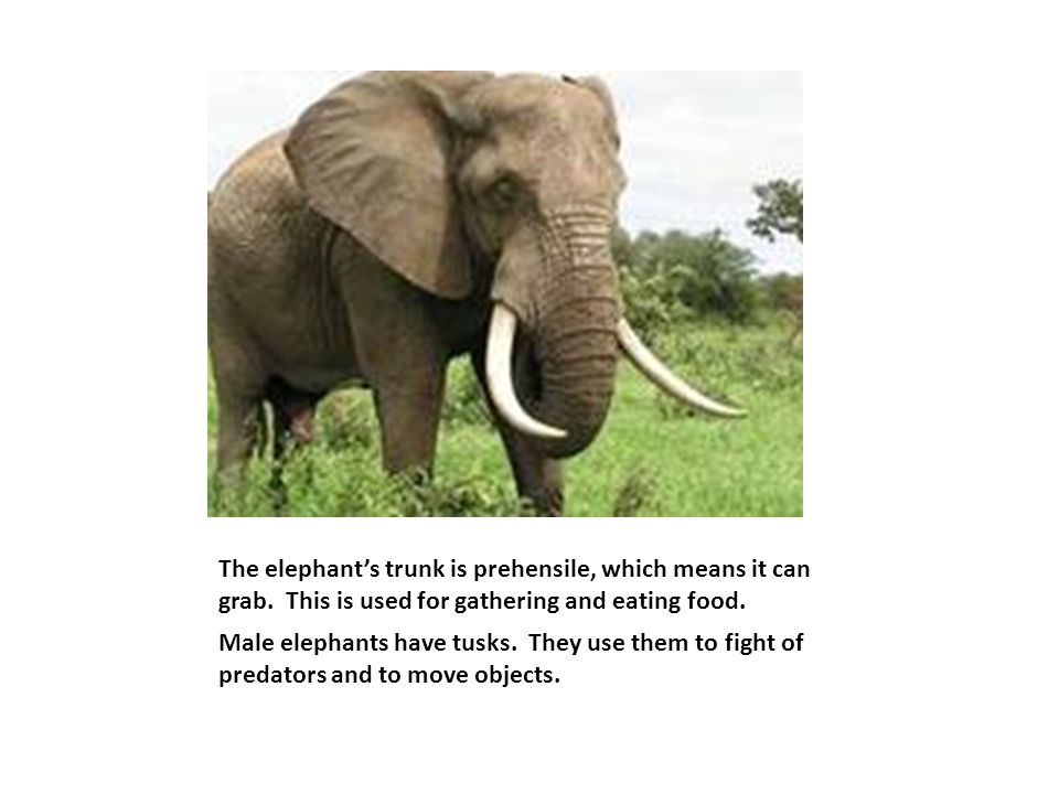 The elephant's trunk is prehensile, which means it can grab