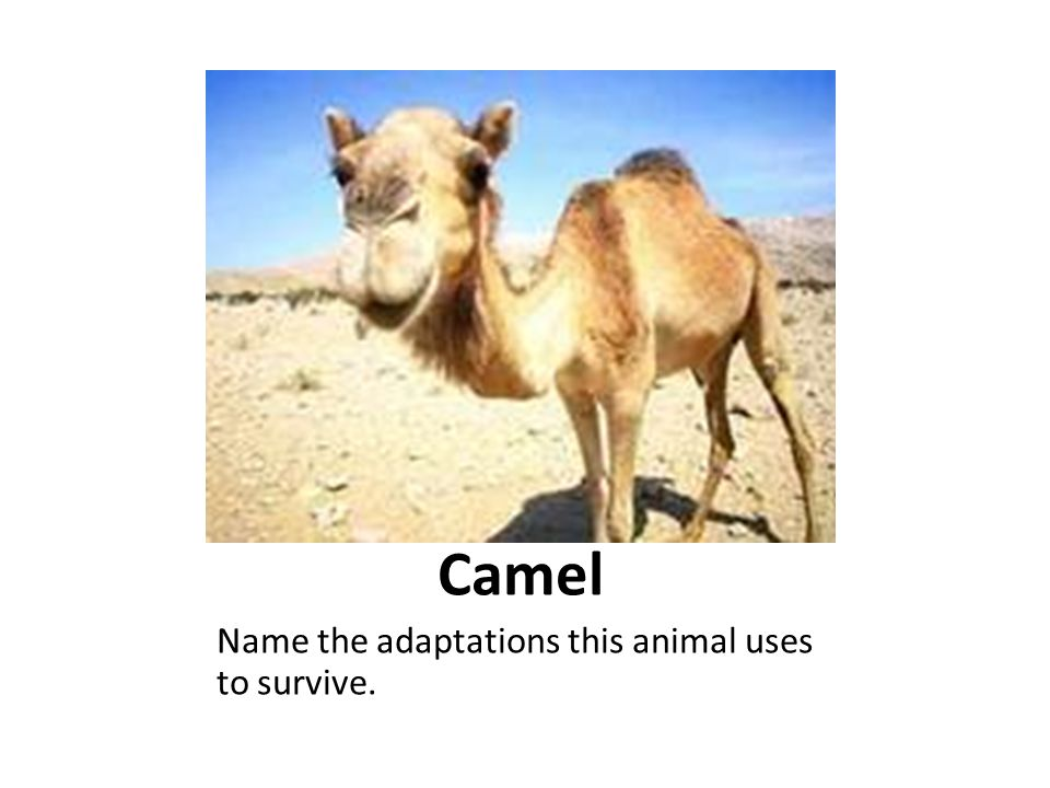 Camel Name the adaptations this animal uses to survive.