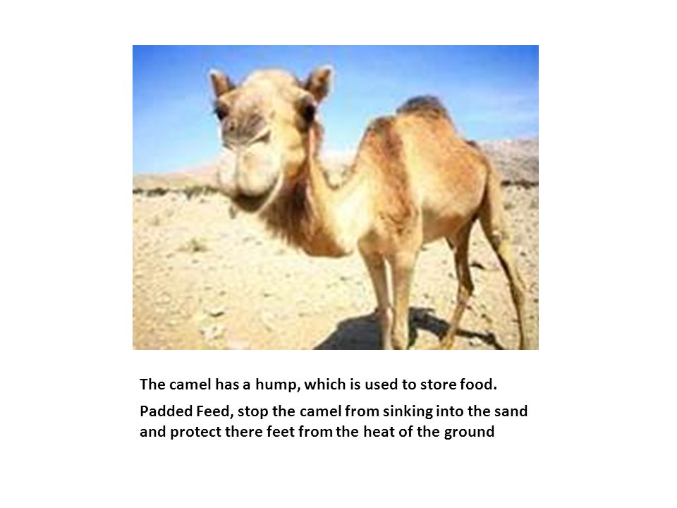 The camel has a hump, which is used to store food.