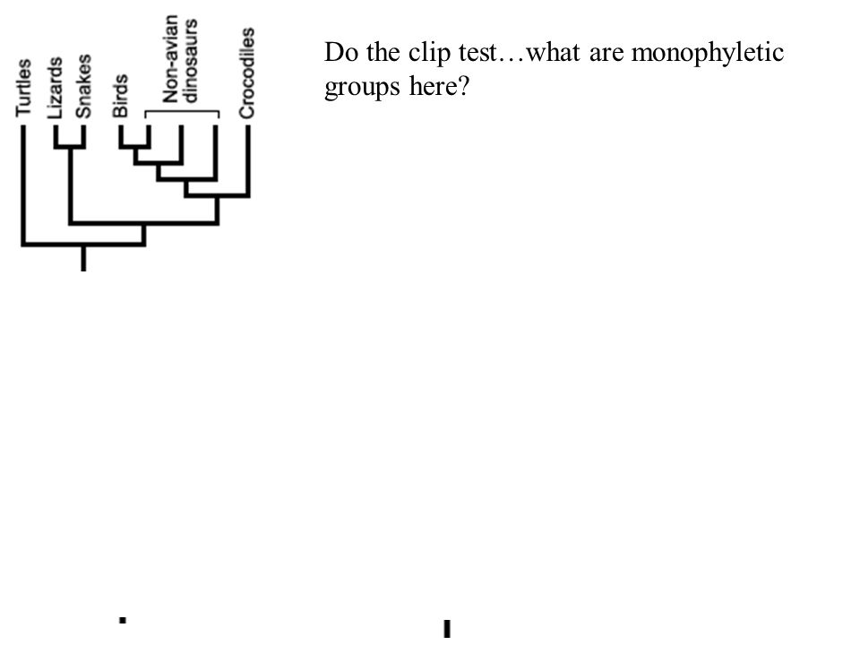 Do the clip test…what are monophyletic groups here
