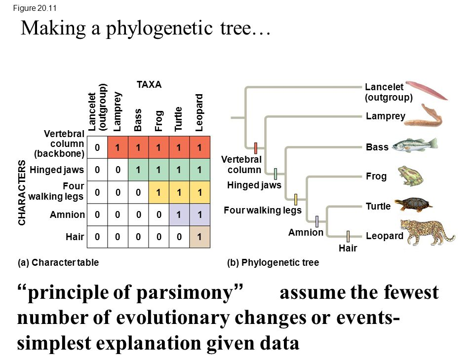 Making a phylogenetic tree…