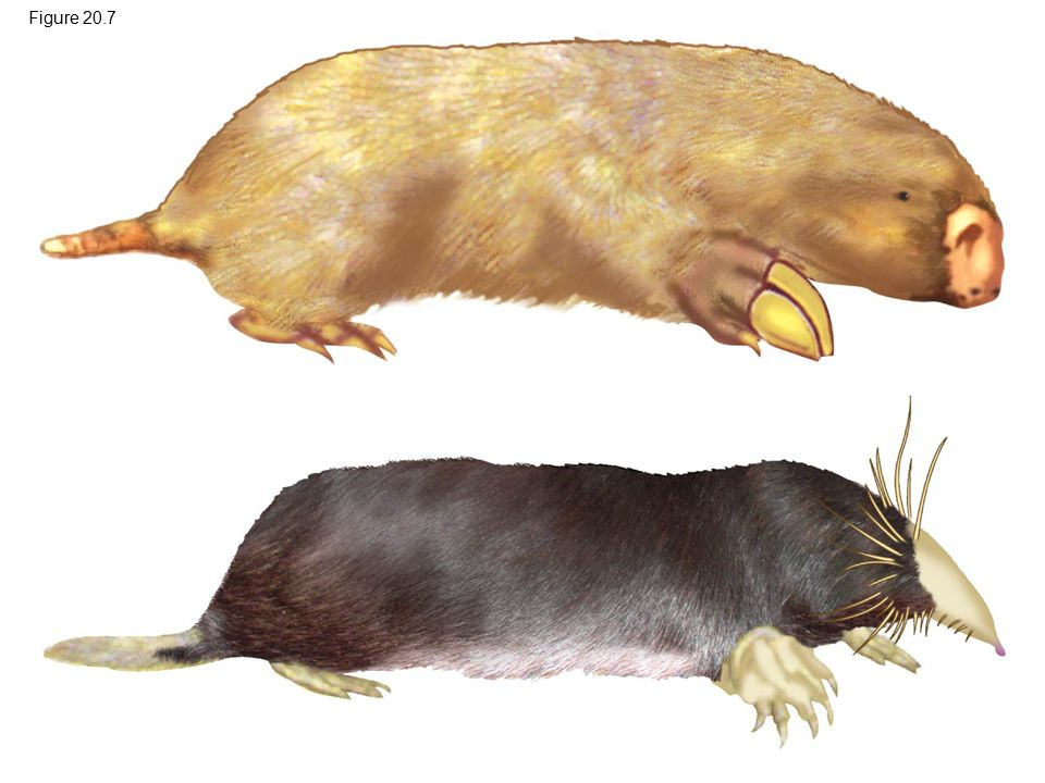 Figure 20.7 Figure 20.7 Convergent evolution of analogous burrowing characteristics 3
