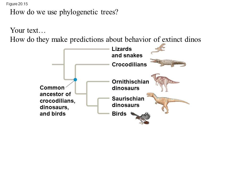 How do we use phylogenetic trees Your text…