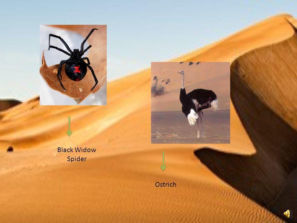 Black Widow Spider Ostrich