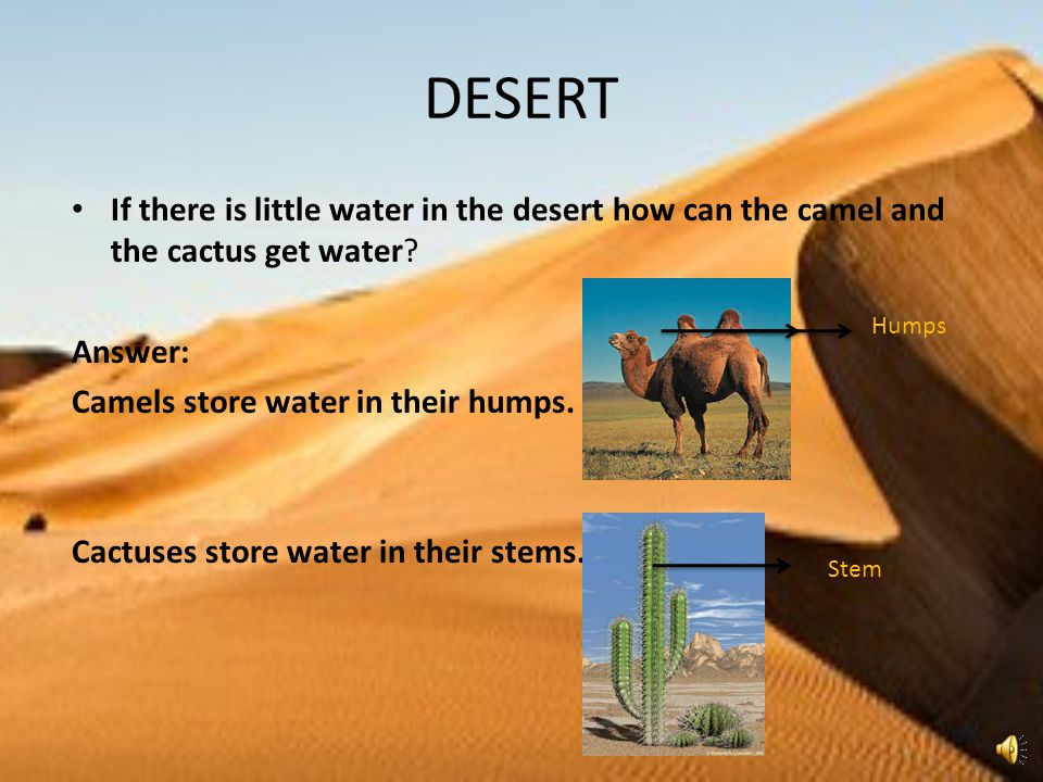 DESERT If there is little water in the desert how can the camel and the cactus get water Answer: Camels store water in their humps.
