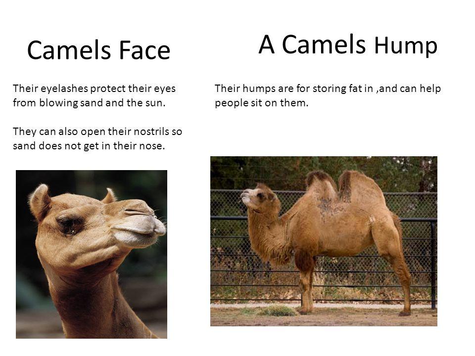 Camels Face A Camels Hump