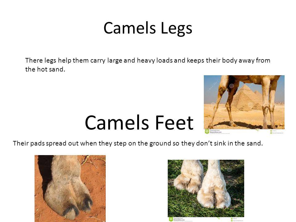 Camels Feet Camels Legs