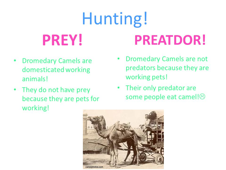 Hunting! PREY! PREATDOR! Dromedary Camels are not predators because they are working pets! Their only predator are some people eat camel!