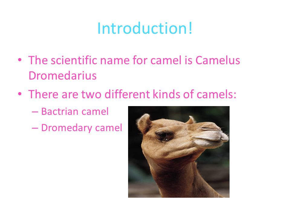 Introduction! The scientific name for camel is Camelus Dromedarius