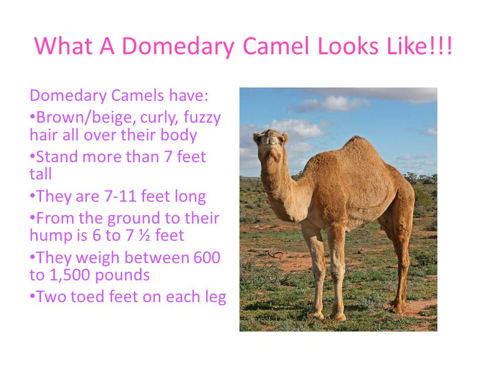 What A Domedary Camel Looks Like!!!