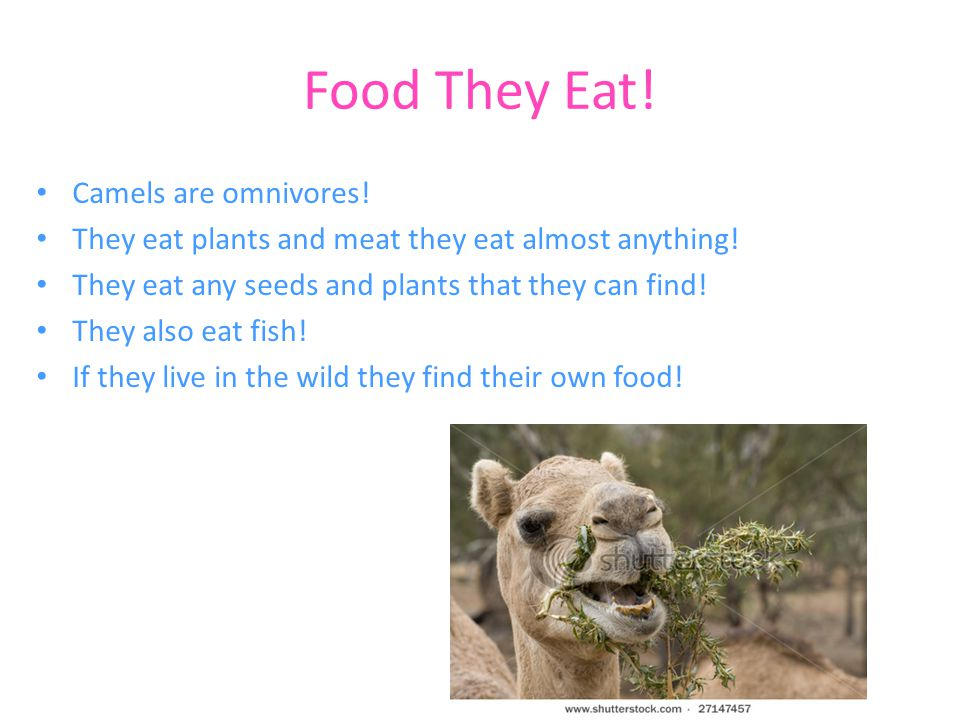 Food They Eat! Camels are omnivores!