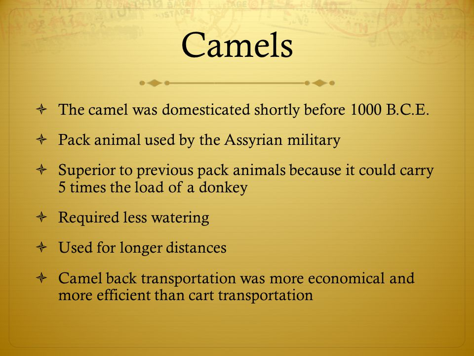 Camels The camel was domesticated shortly before 1000 B.C.E.