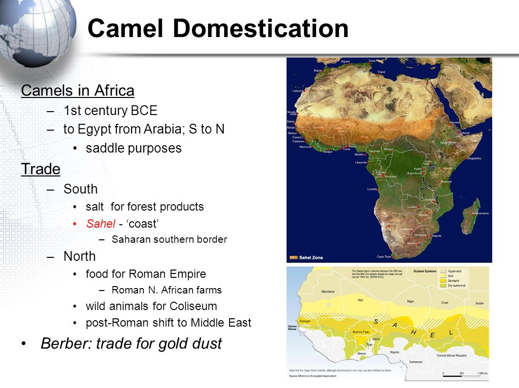 Camel Domestication Camels in Africa Trade Berber: trade for gold dust
