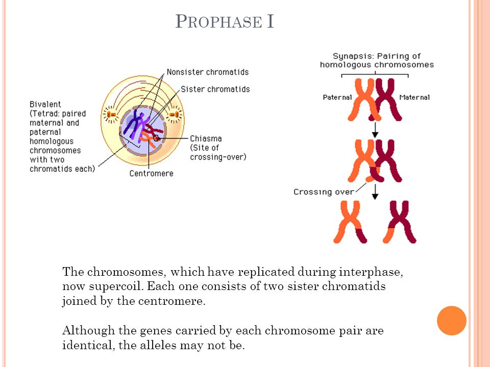Prophase I