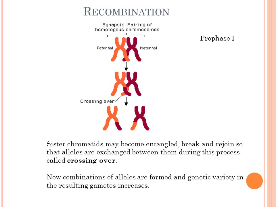 Recombination Prophase I