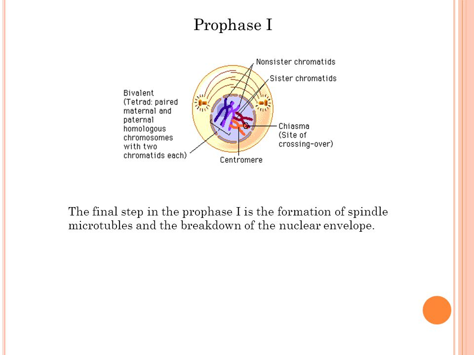 Prophase I The final step in the prophase I is the formation of spindle microtubles and the breakdown of the nuclear envelope.