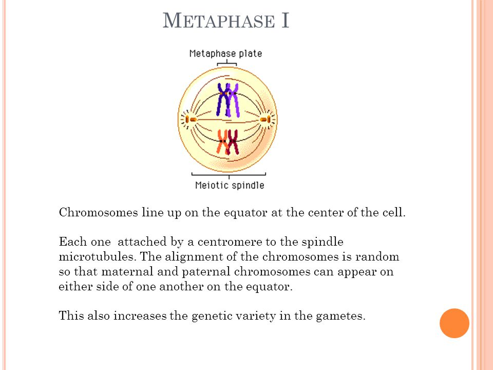 Metaphase I Chromosomes line up on the equator at the center of the cell.