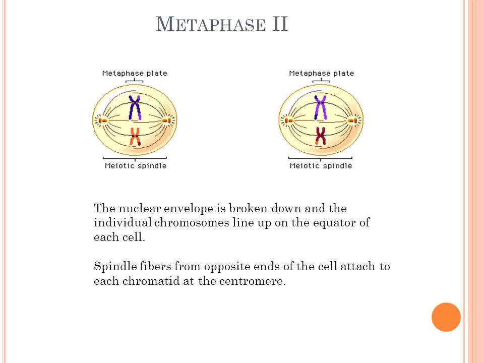 Metaphase II The nuclear envelope is broken down and the individual chromosomes line up on the equator of each cell.