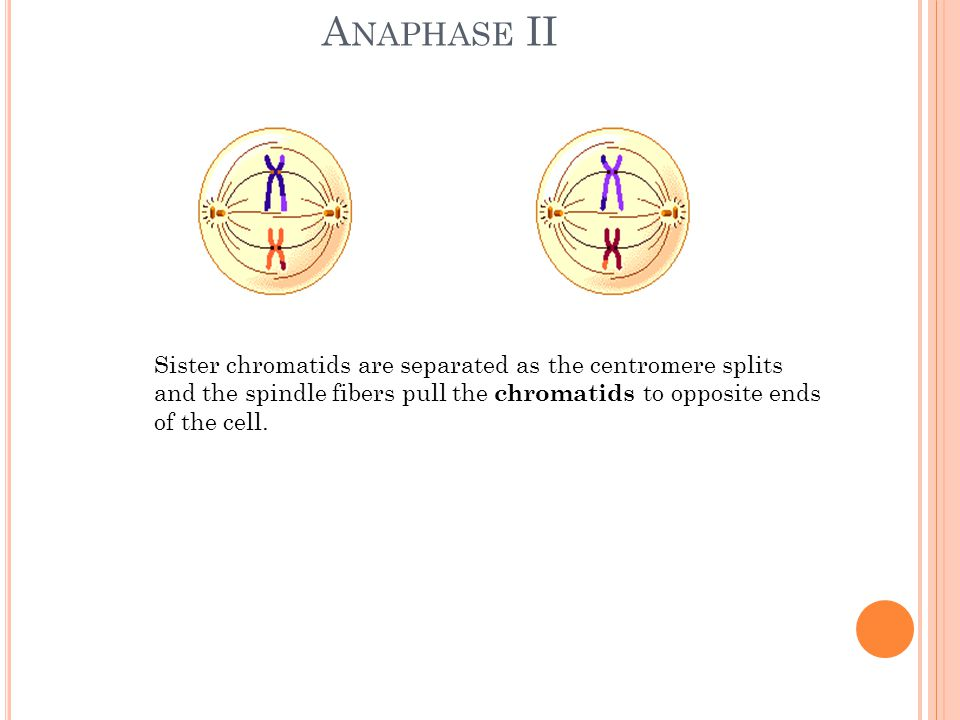 Anaphase II Sister chromatids are separated as the centromere splits and the spindle fibers pull the chromatids to opposite ends of the cell.