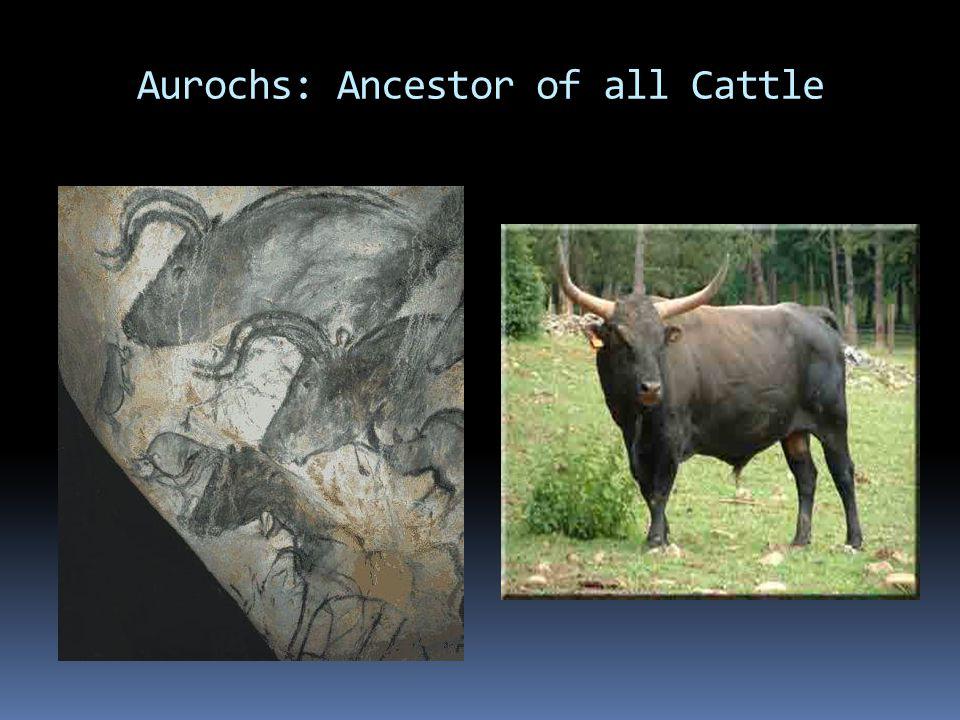Aurochs: Ancestor of all Cattle